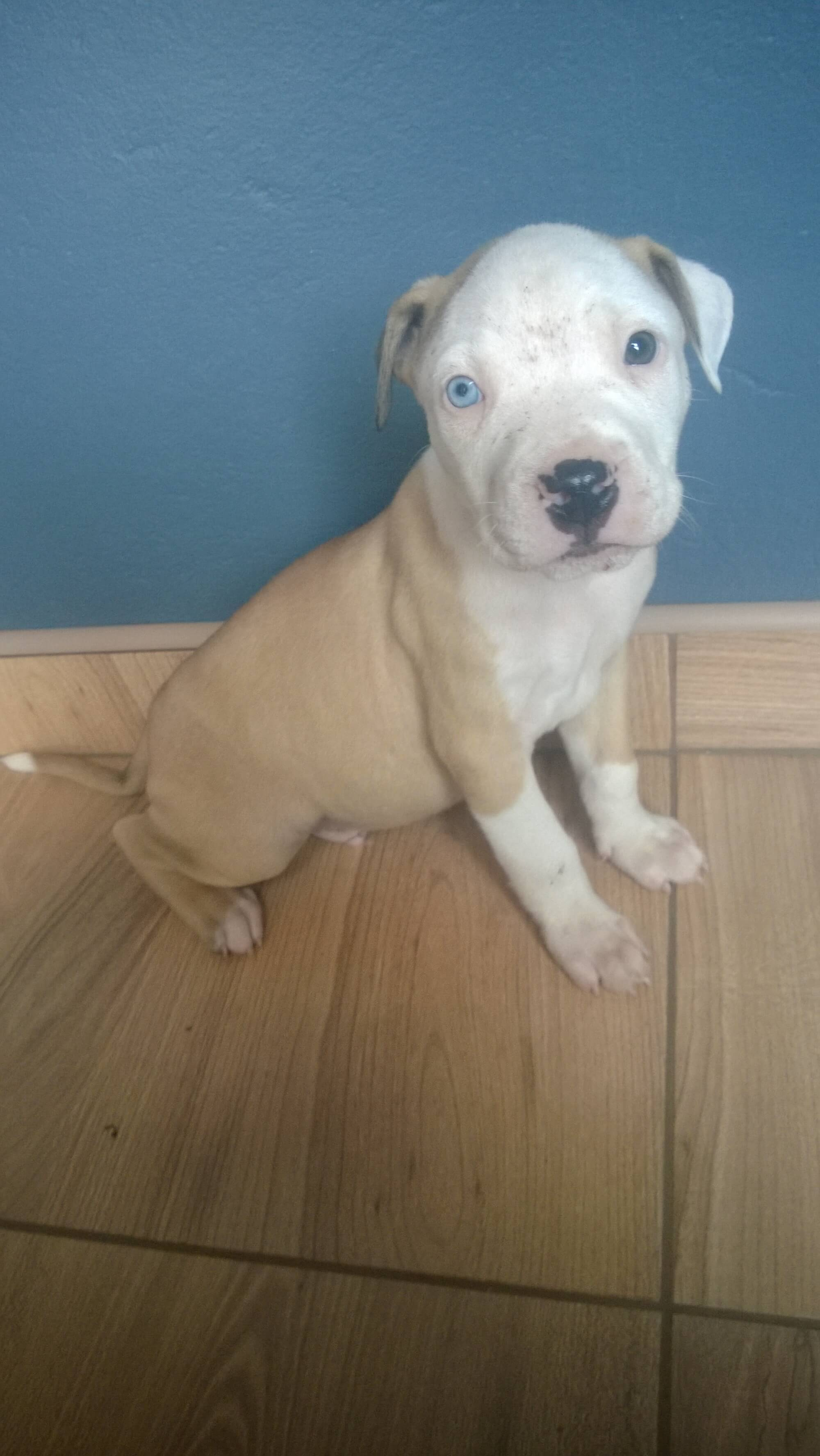 Pitbull Puppies for Sale in Pretoria by Luani du Preez