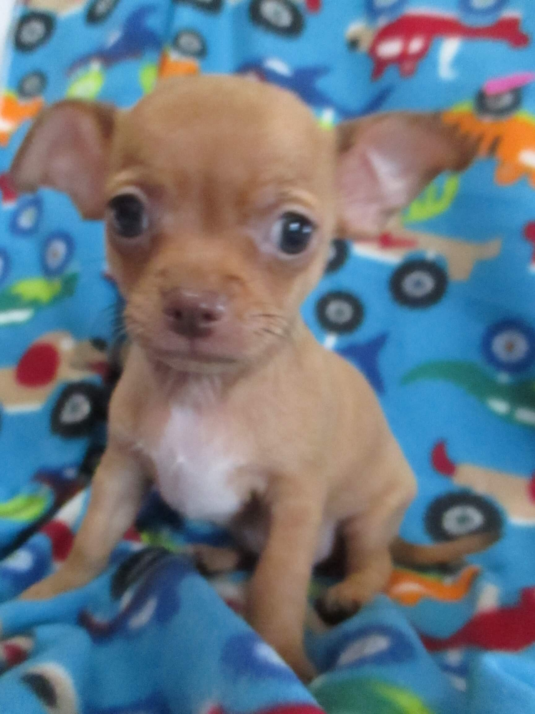 Chihuahua Puppies for Sale in Kwazulu Natal by Johan Rossouw