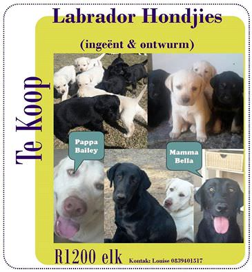 Labrador Puppies for Sale in Other by Louise Wessels Fick