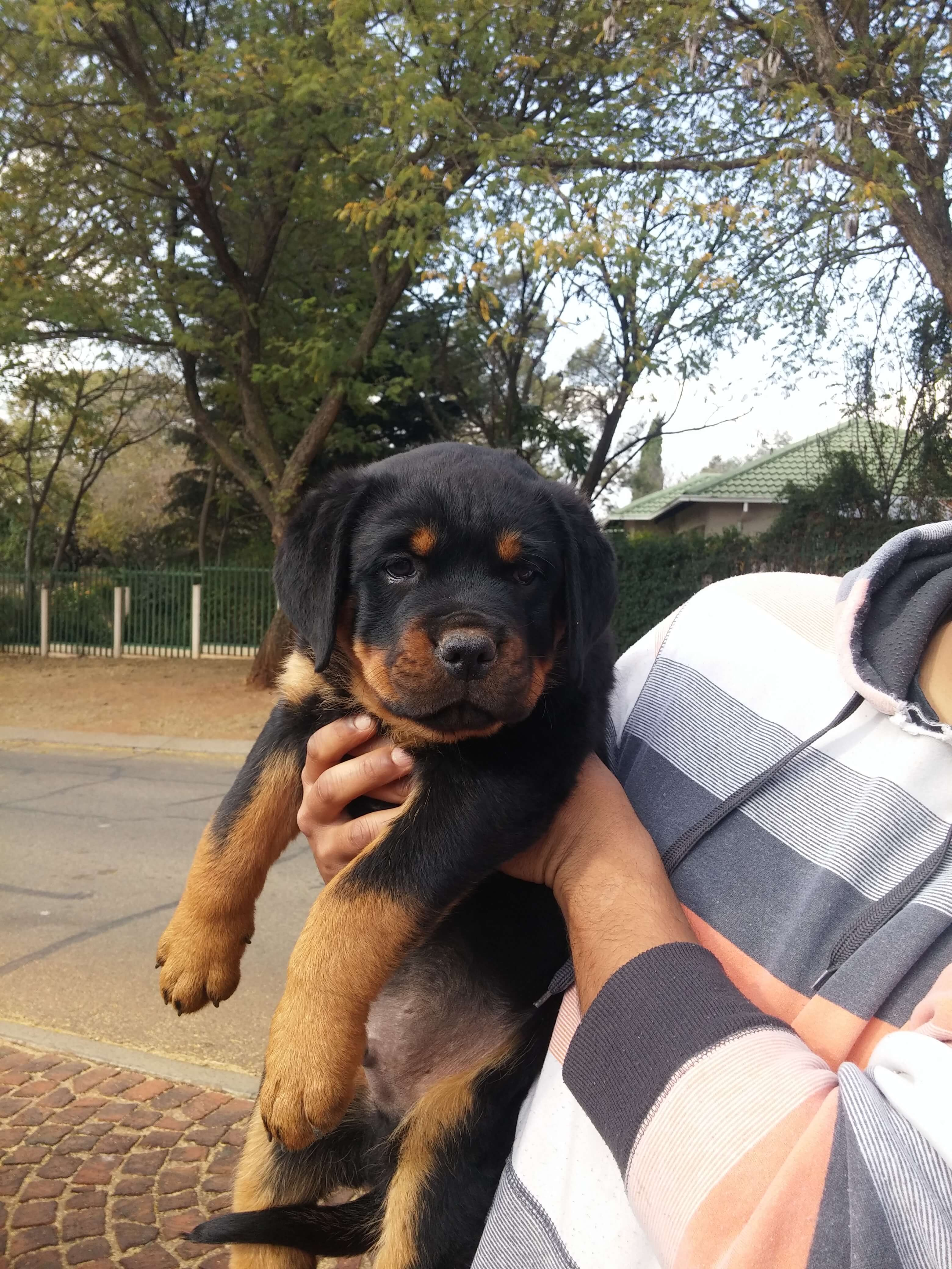 Rottweiler Puppies for Sale in Johannesburg by Bolzy Paladin