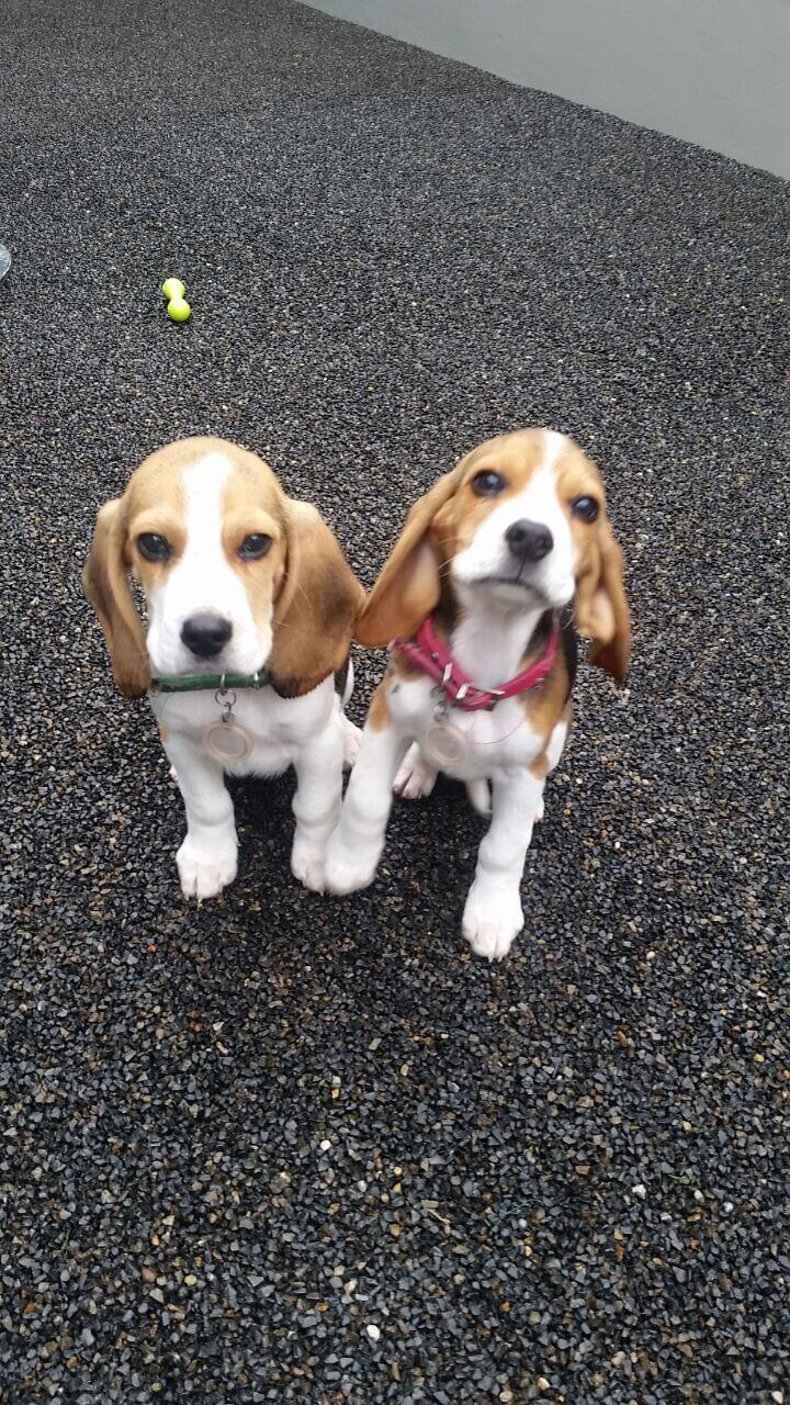 Beagle Puppies for Sale in Other by Cedric Jaun Landman