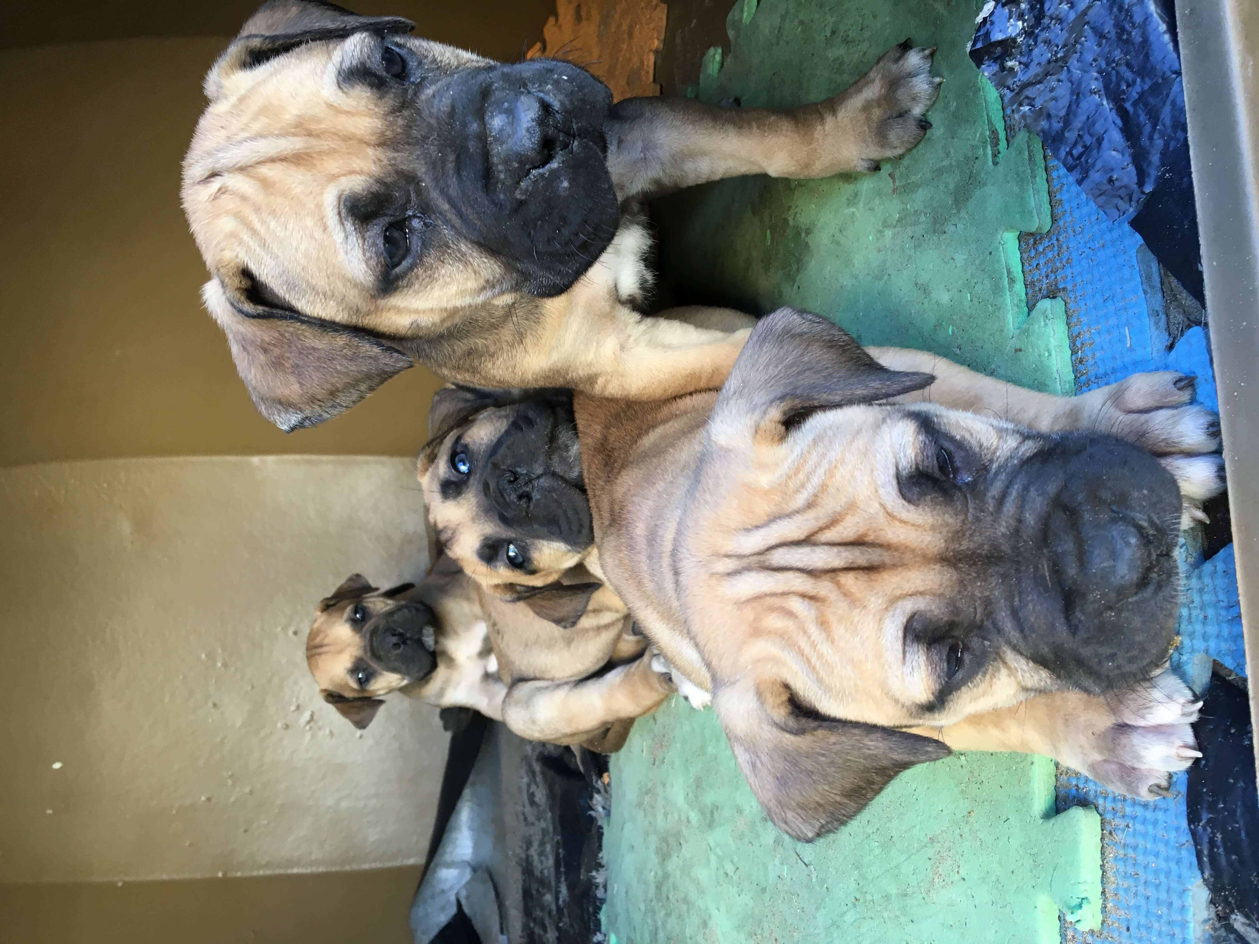 Boerboel Puppies for Sale in Cape Town by Limeez Poole