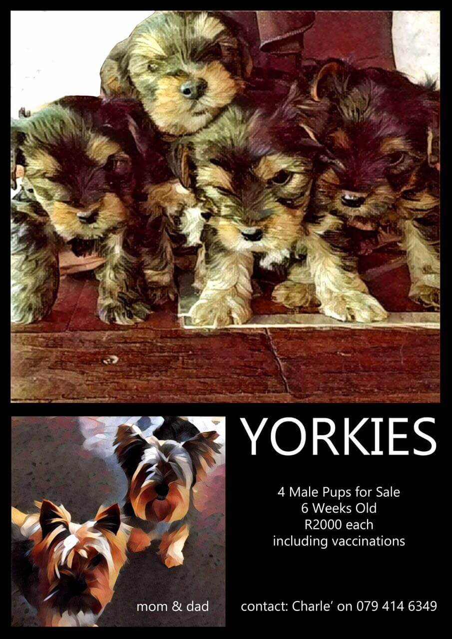Yorkshire Puppies for Sale in Pretoria by Charle Welgemoed