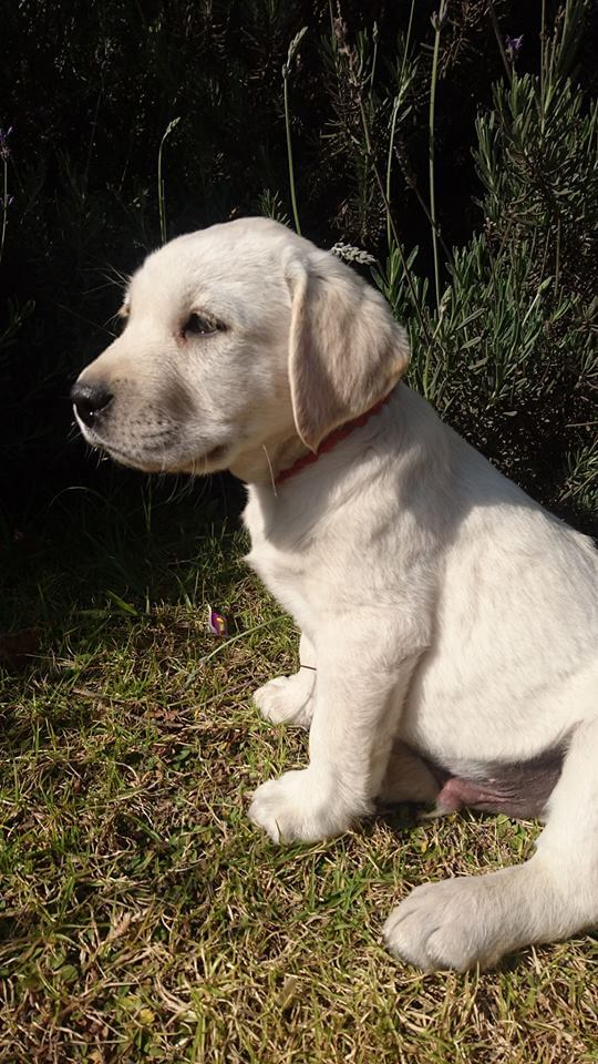 Labrador Puppies for Sale in Johannesburg by Norma1303