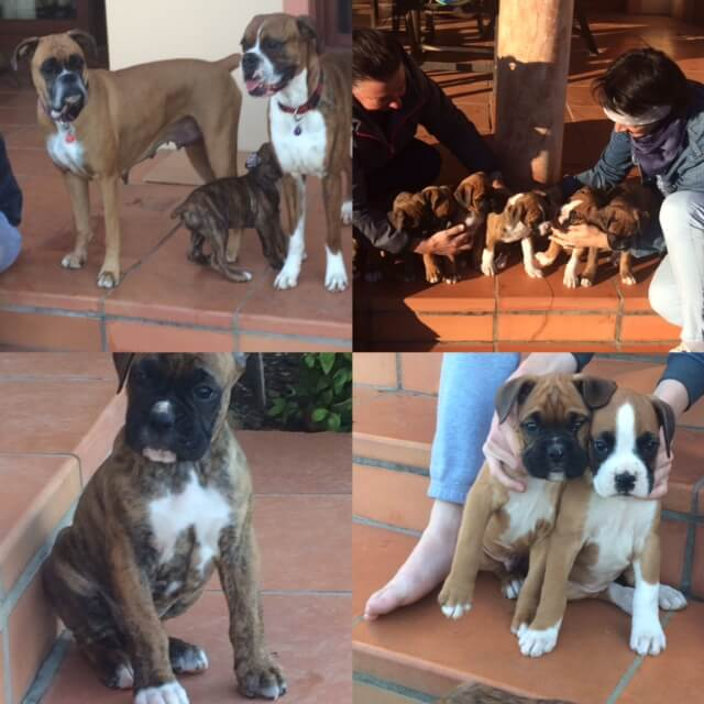 Boxer Puppies for Sale in Cape Town by Lindie du Plessis