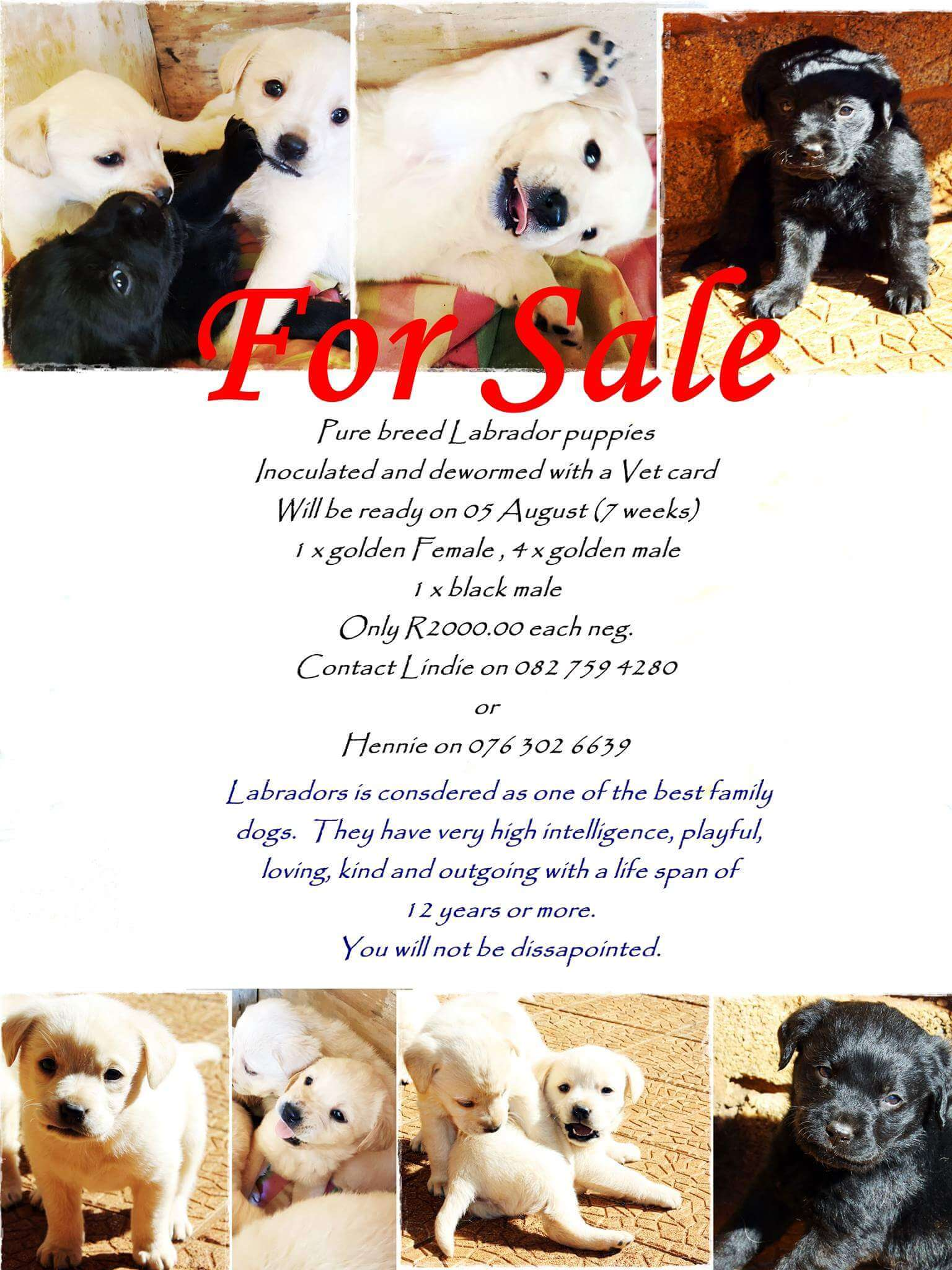 Labrador Puppies for Sale in Other by Lindie Rademeyer