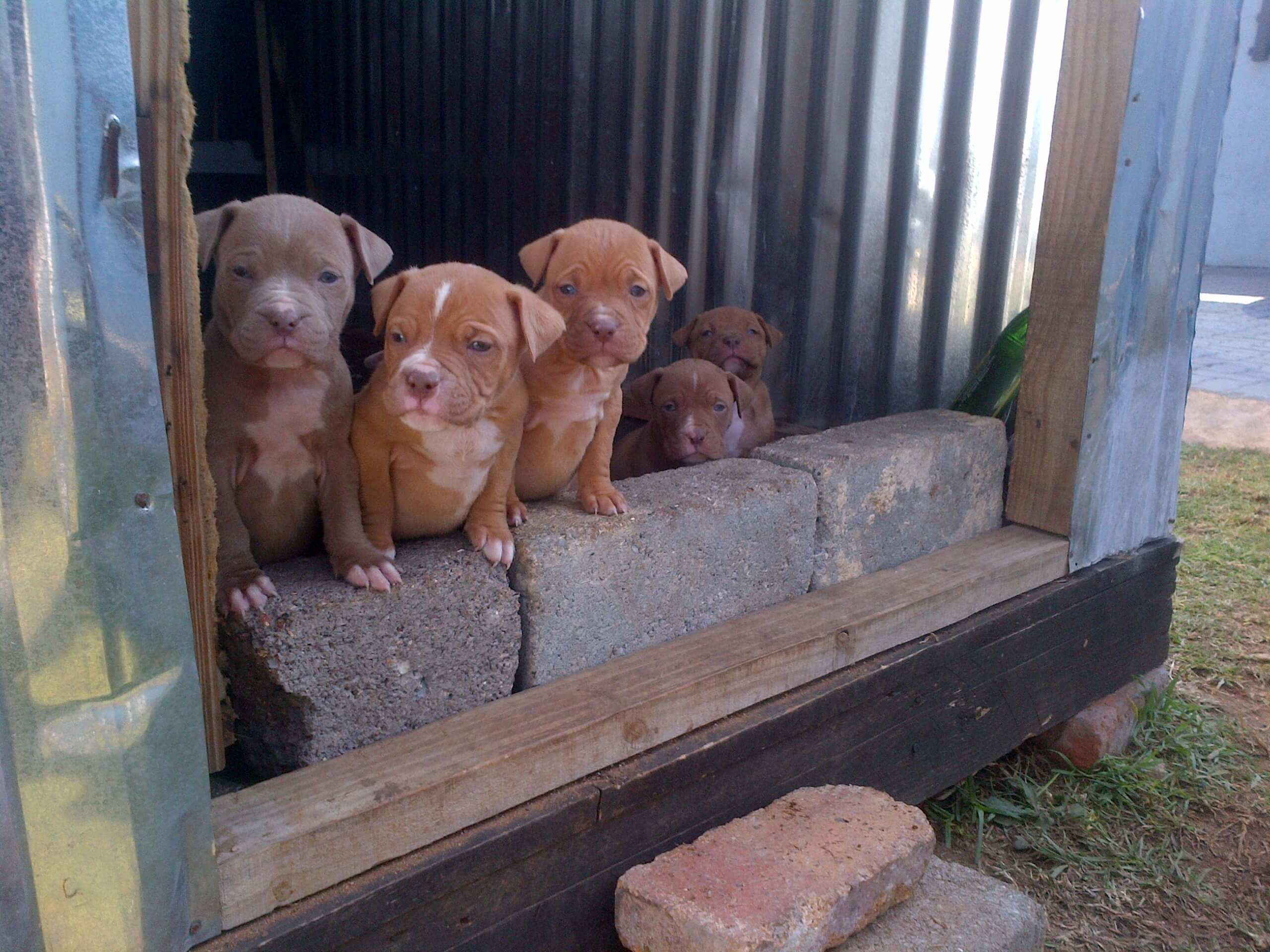 Pitbull Puppies for Sale in Johannesburg by Thabo Maluleke