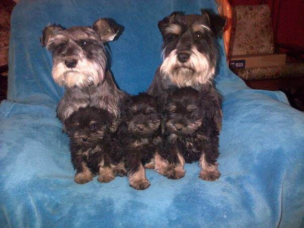 Snauzer Puppies for Sale in Other by Rene Hamman