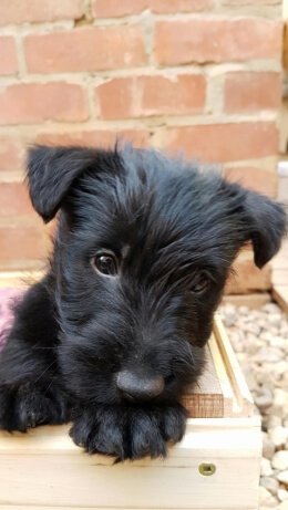 Terrier Puppies for Sale in Pretoria by Rozanne Smit