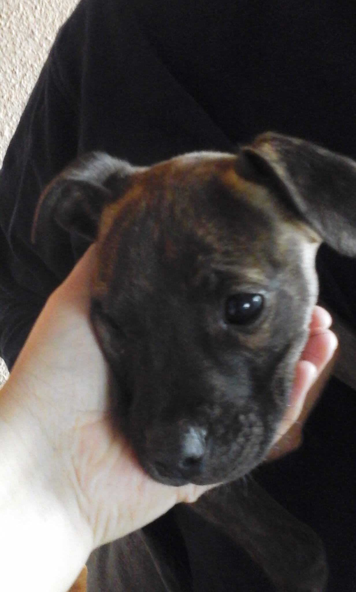 Staffie Puppies for Sale in Cape Town by Felicia Nel