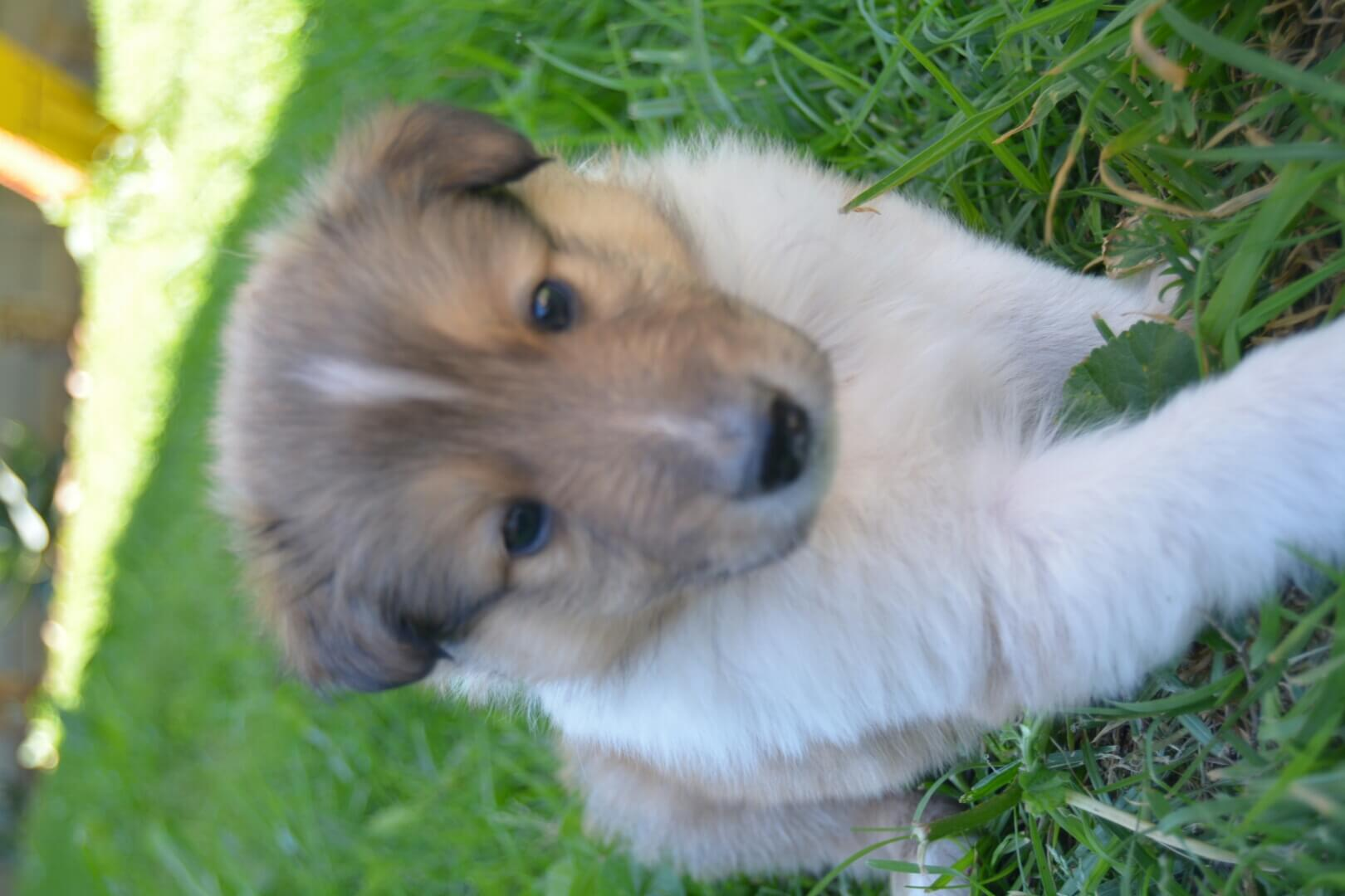 Collie Puppies for Sale in Cape Town by Sondri Basson Therion