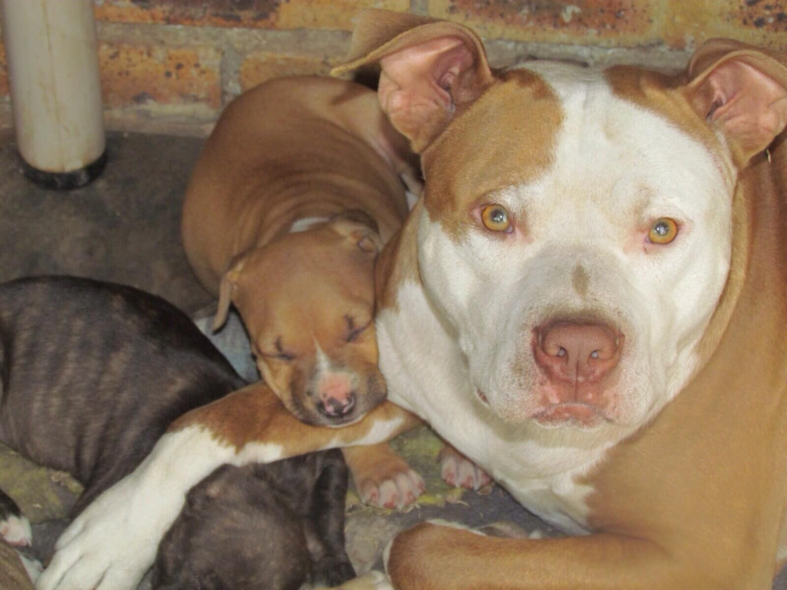Pitbull Puppies for Sale in Johannesburg by Janis Le Roux