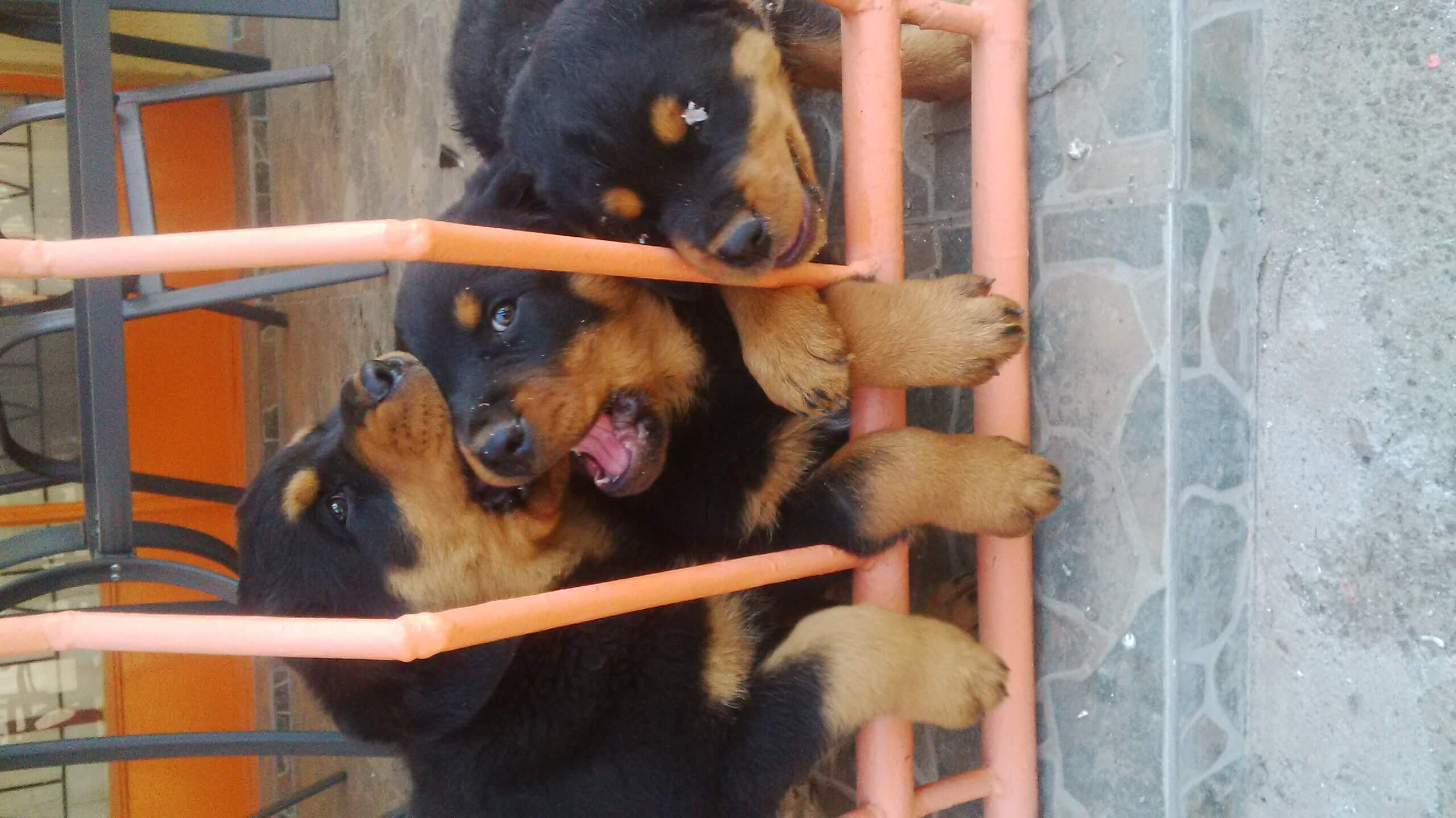 Rottweiler Puppies for Sale in Johannesburg by Oupa Mokgotsi Masike