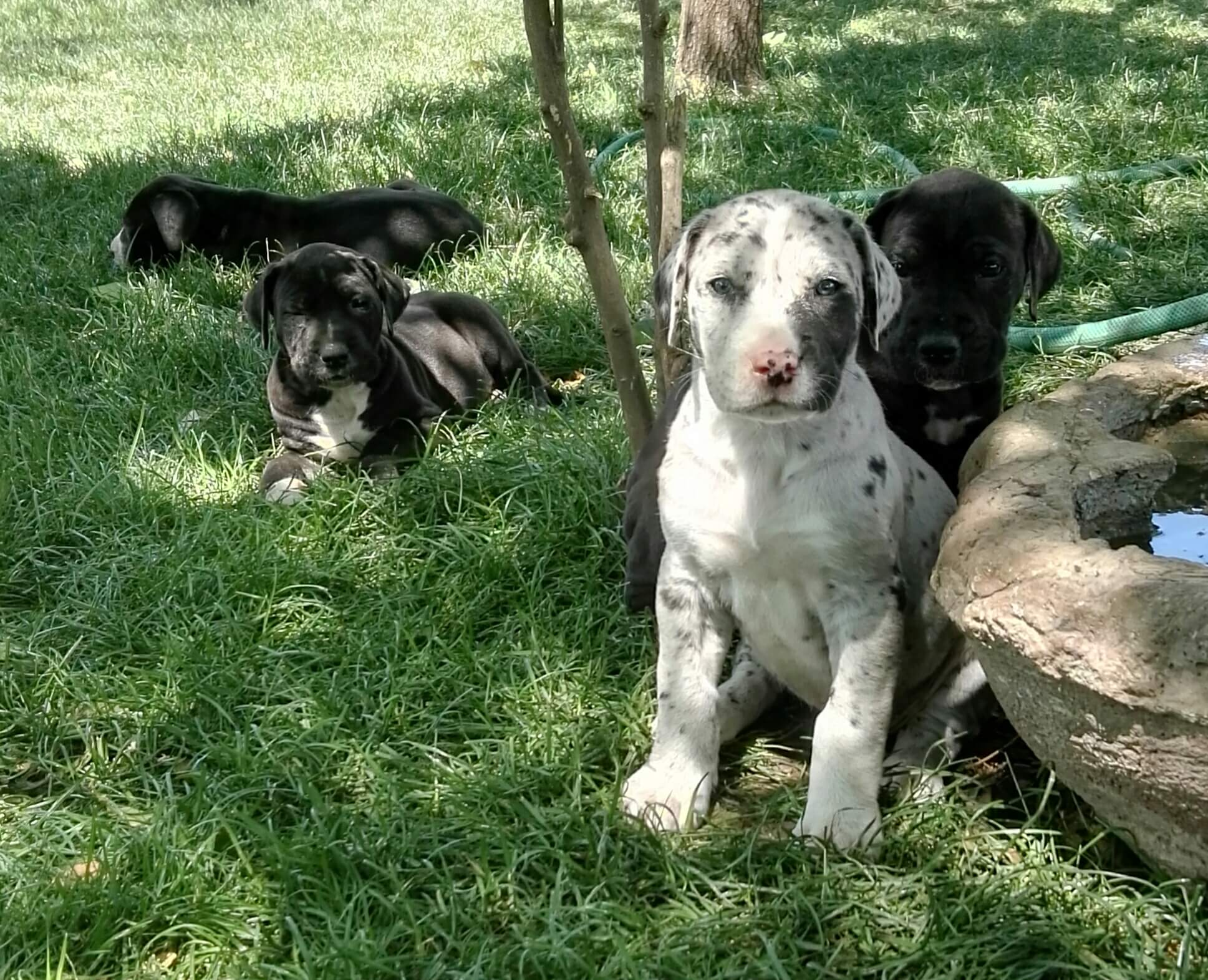 Great Dane Puppies for Sale in Johannesburg by Surika Piater