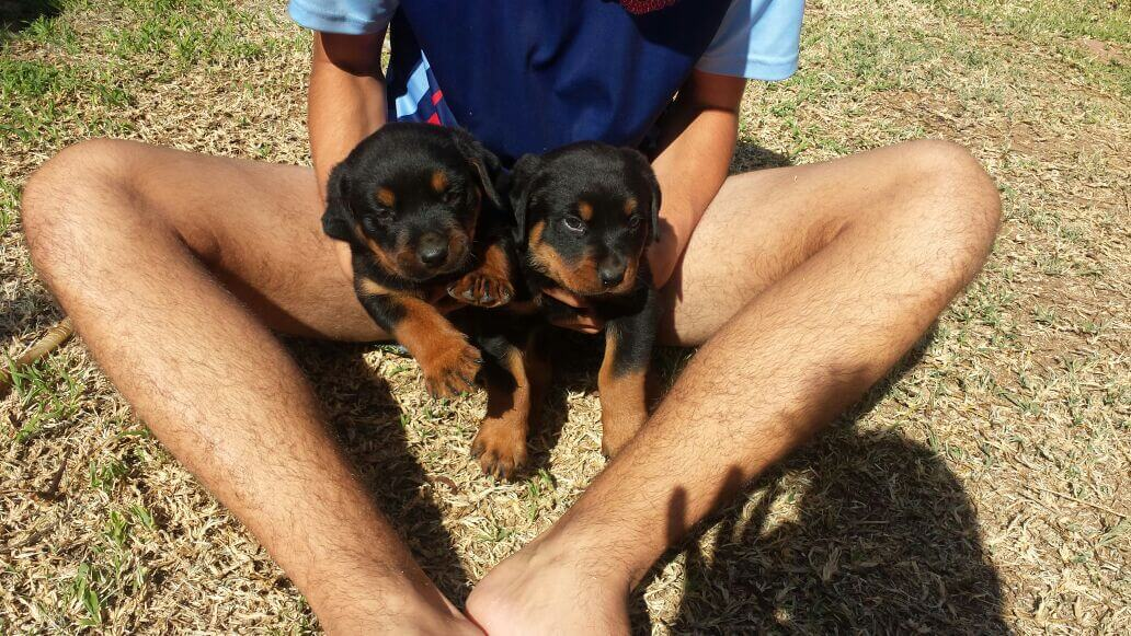 Rottweiler Puppies for Sale in Pretoria by Elmare Arrow