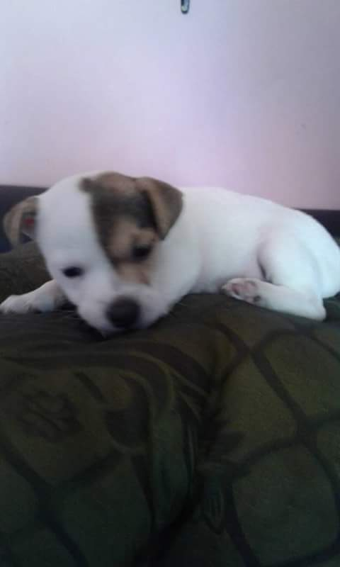 Jack Russel Puppies for Sale in Cape Town by Darryl Nadeem Thomas