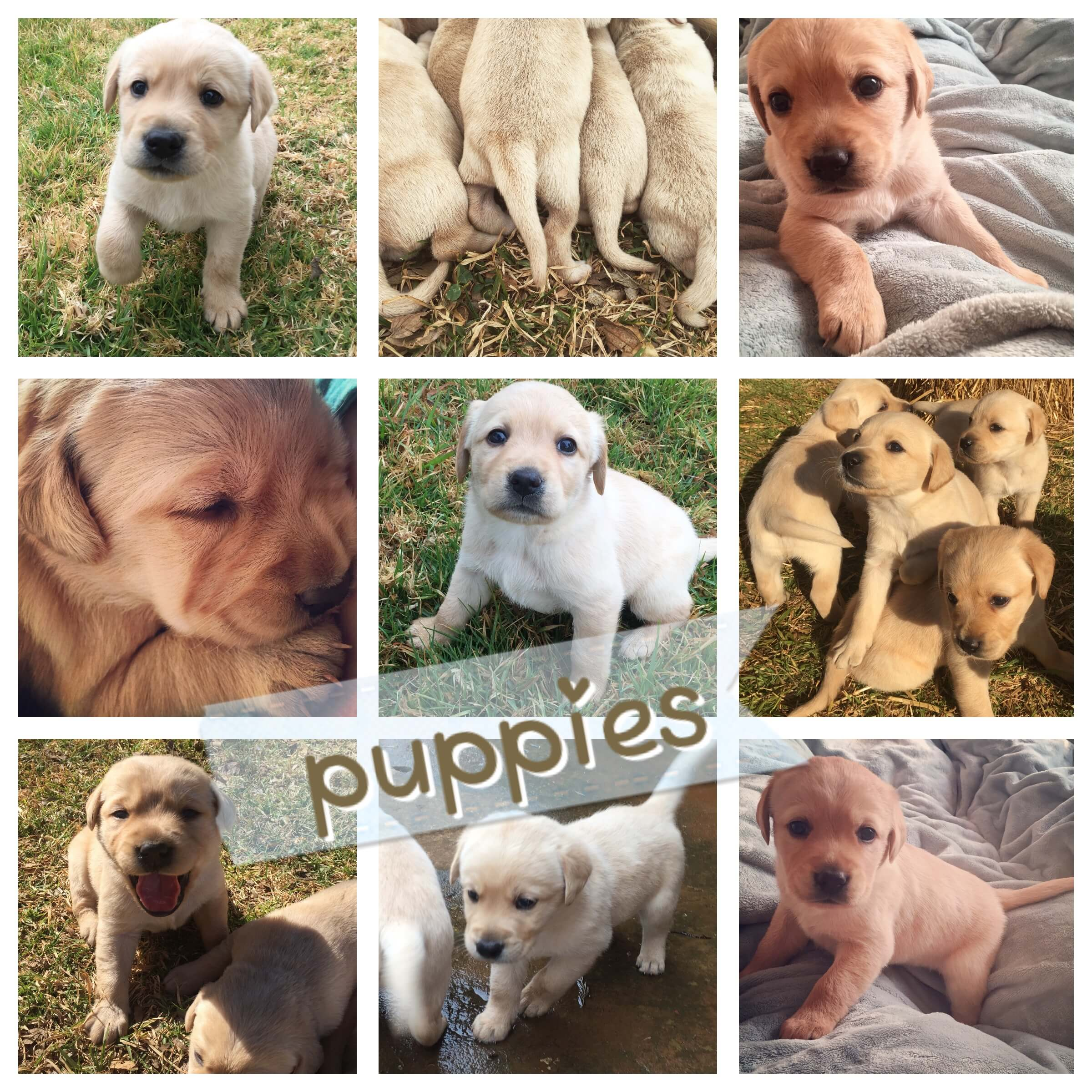 Labrador Puppies for Sale in Other by Nadine Abrahamse