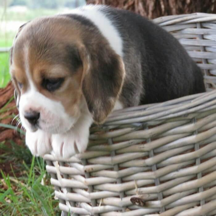 Beagle Puppies for Sale in Pretoria by Melani Van Rensburg