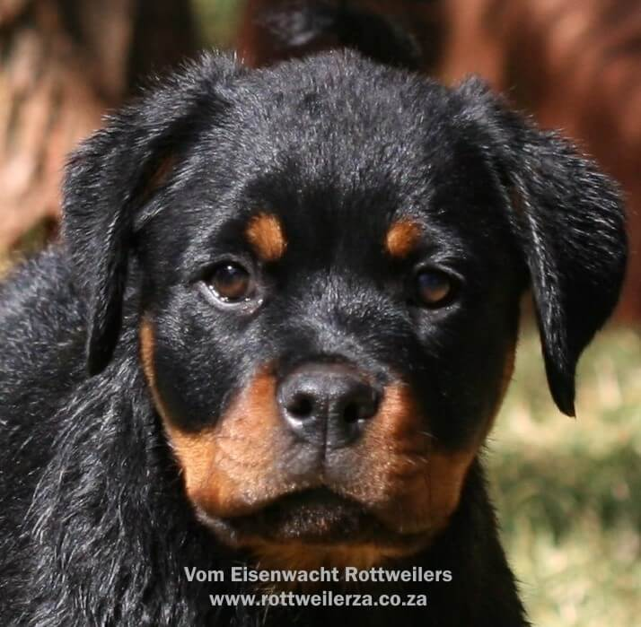 Rottweiler Puppies for Sale in Pretoria by Vom Eisenwacht Rottweilers