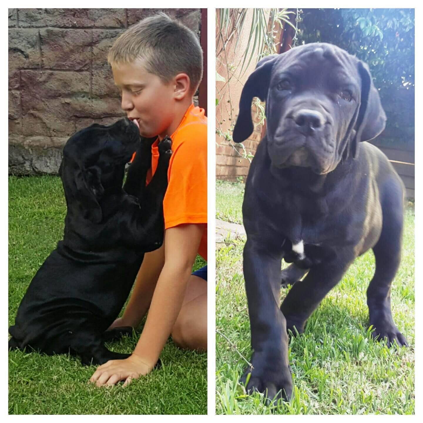 Boerboel Puppies for Sale in Johannesburg by Barbara Stolle