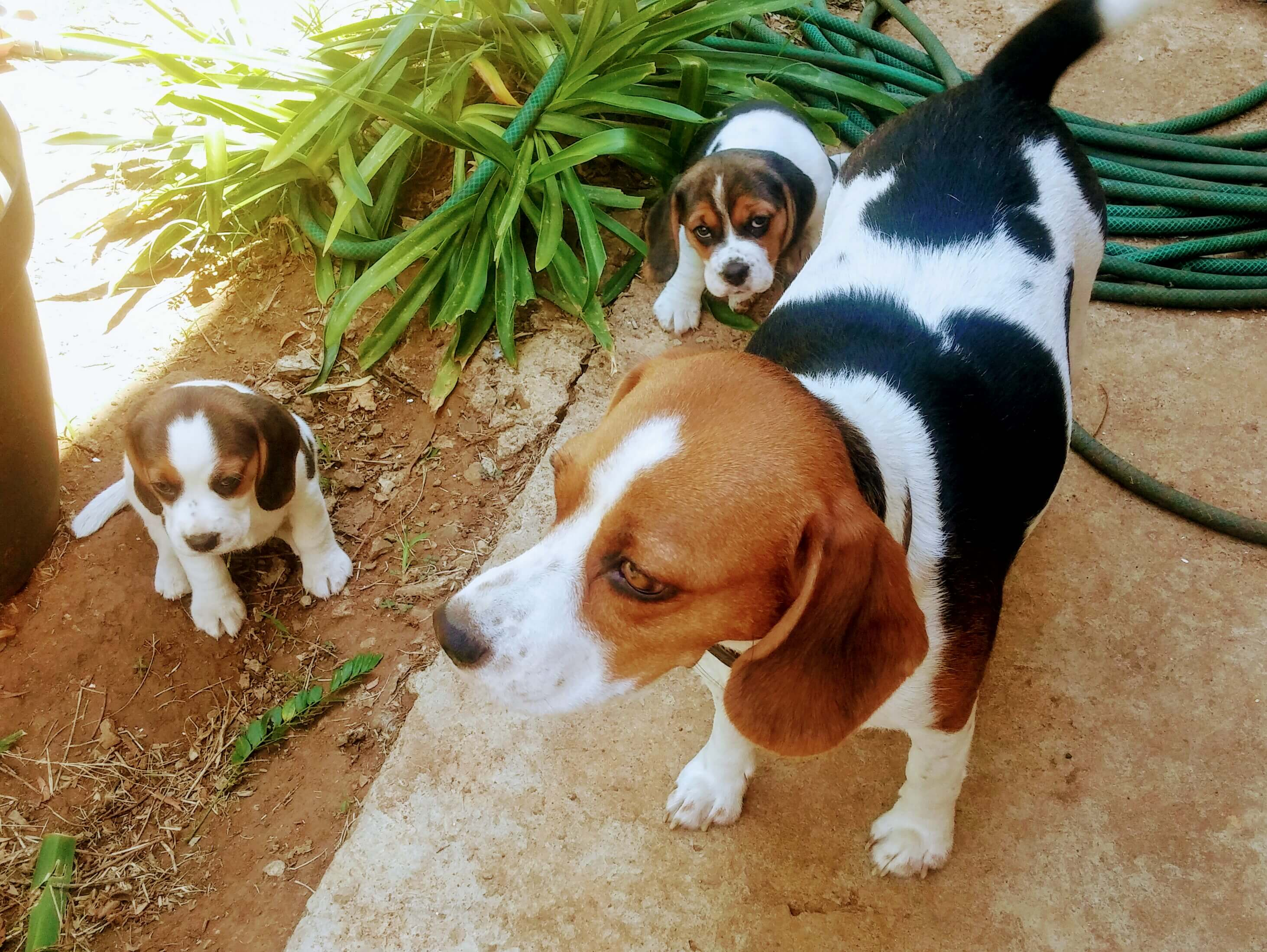 Beagle Puppies for Sale in Johannesburg by Daniel van Greunen