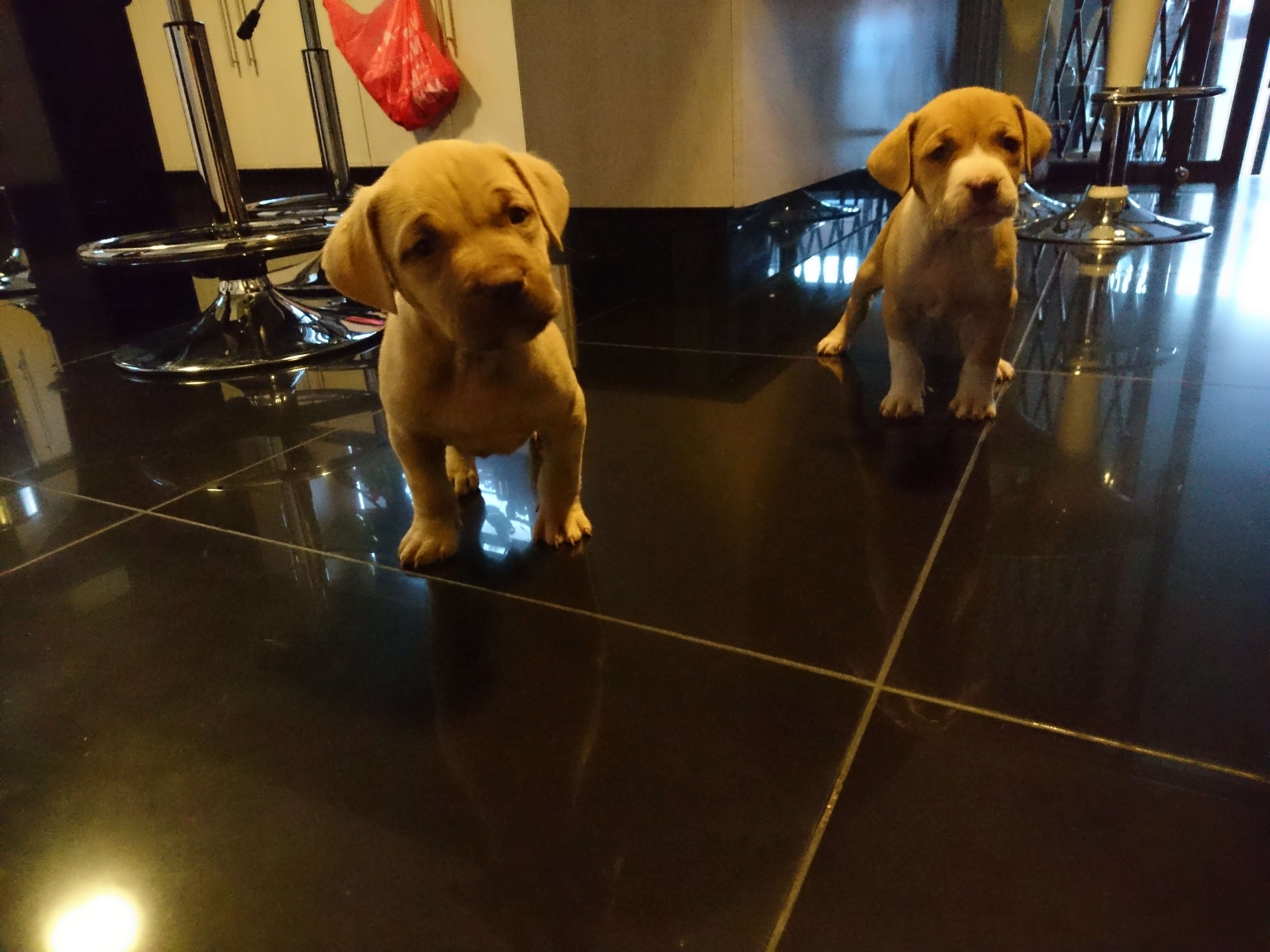 Pitbull Puppies for Sale in Johannesburg by Pumesen Sominathan Moodley