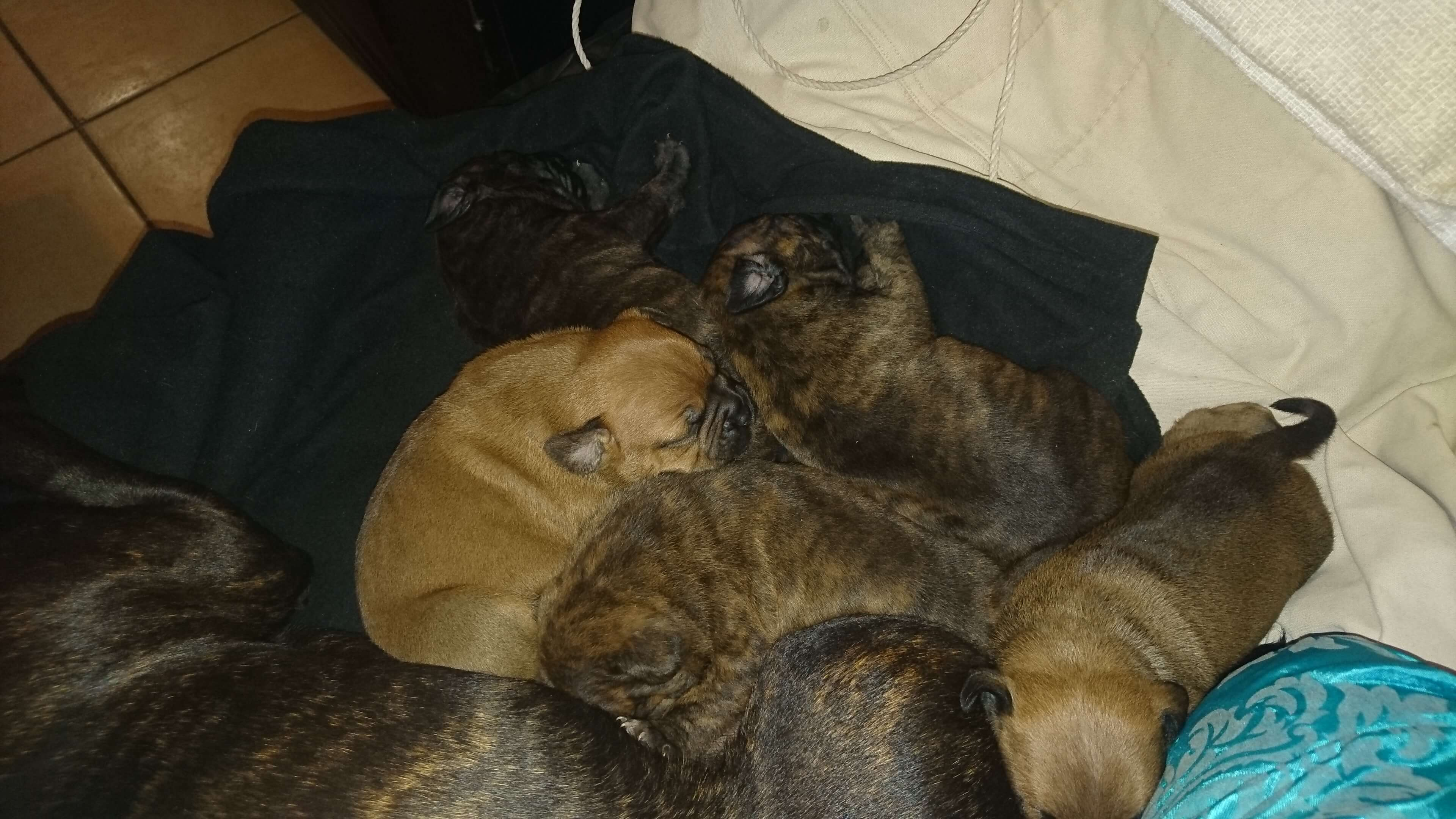 Staffie Puppies for Sale in Cape Town by Pierre Johnson