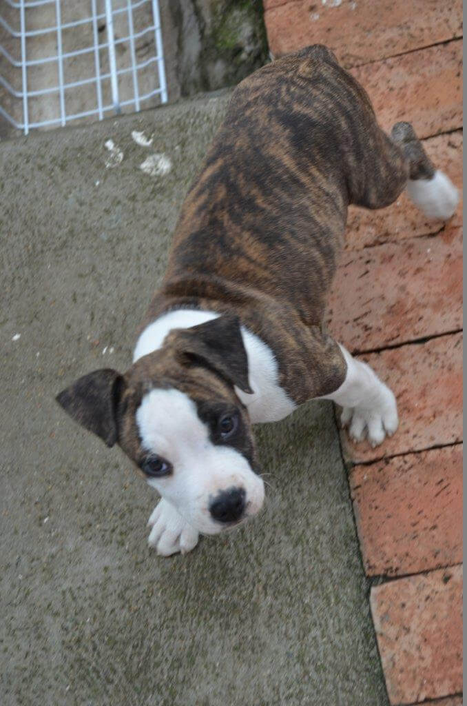 Staffie Puppies for Sale in Other by Philippa Garrell