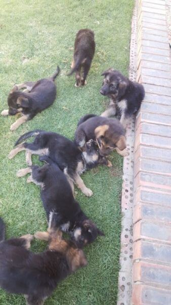 German Sheperd Puppies for Sale in Cape Town by Shazneen Arnolds