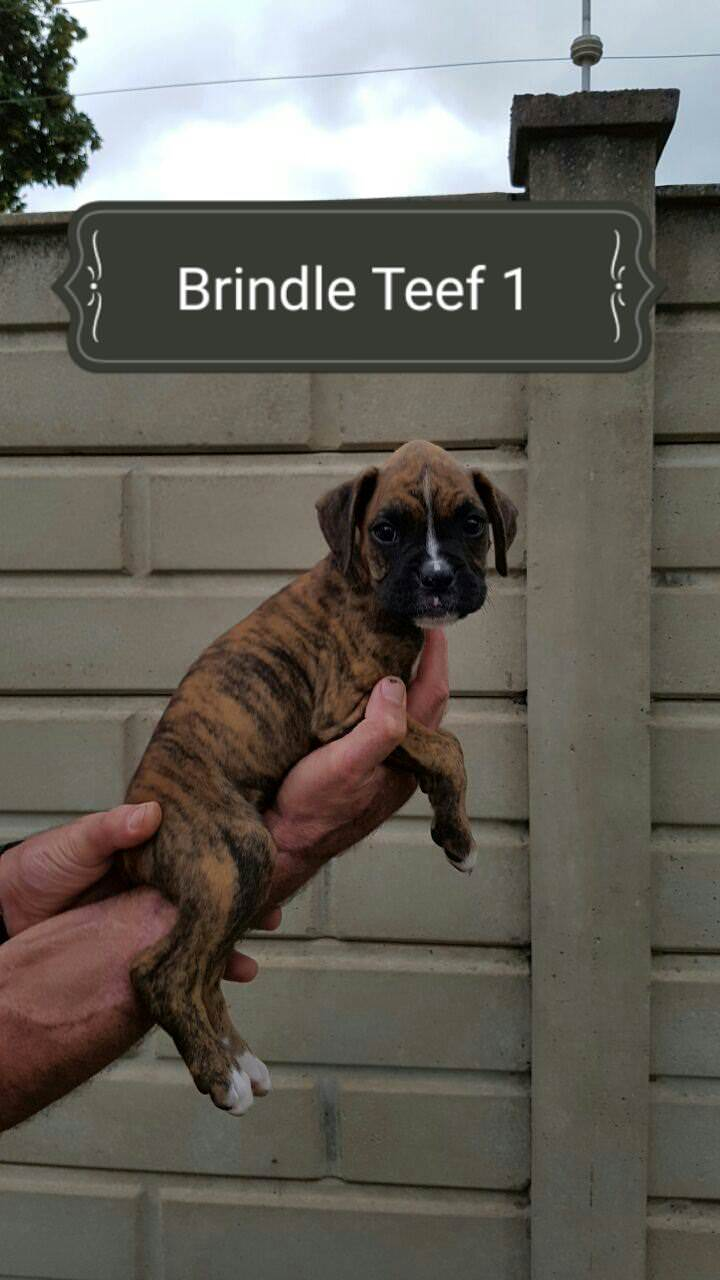 Boxer Puppies for Sale in Other by Hans Fourie