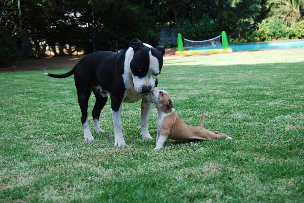 Staffie Puppies for Sale in Johannesburg by facebook*removed*74319