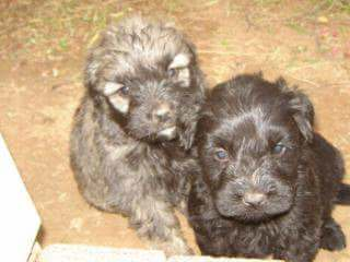 Other Puppies for Sale in Kwazulu Natal by Elmie Pretorius