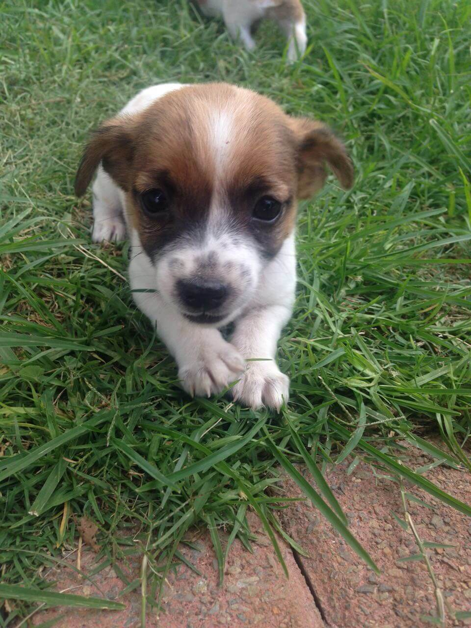 Jack Russel Puppies for Sale in Johannesburg by Matilda Louwrens