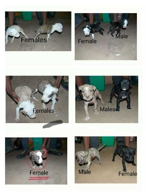 Pitbull Puppies for Sale in Pretoria by Shim M Motlanthe