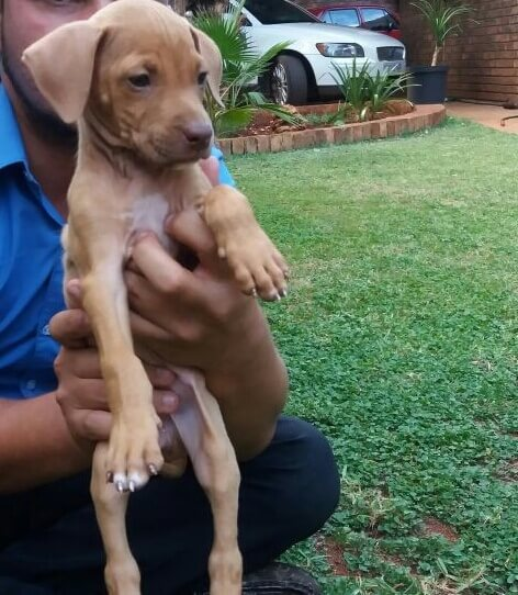 Pitbull Puppies for Sale in Pretoria by Tristan Vanloggerenberg