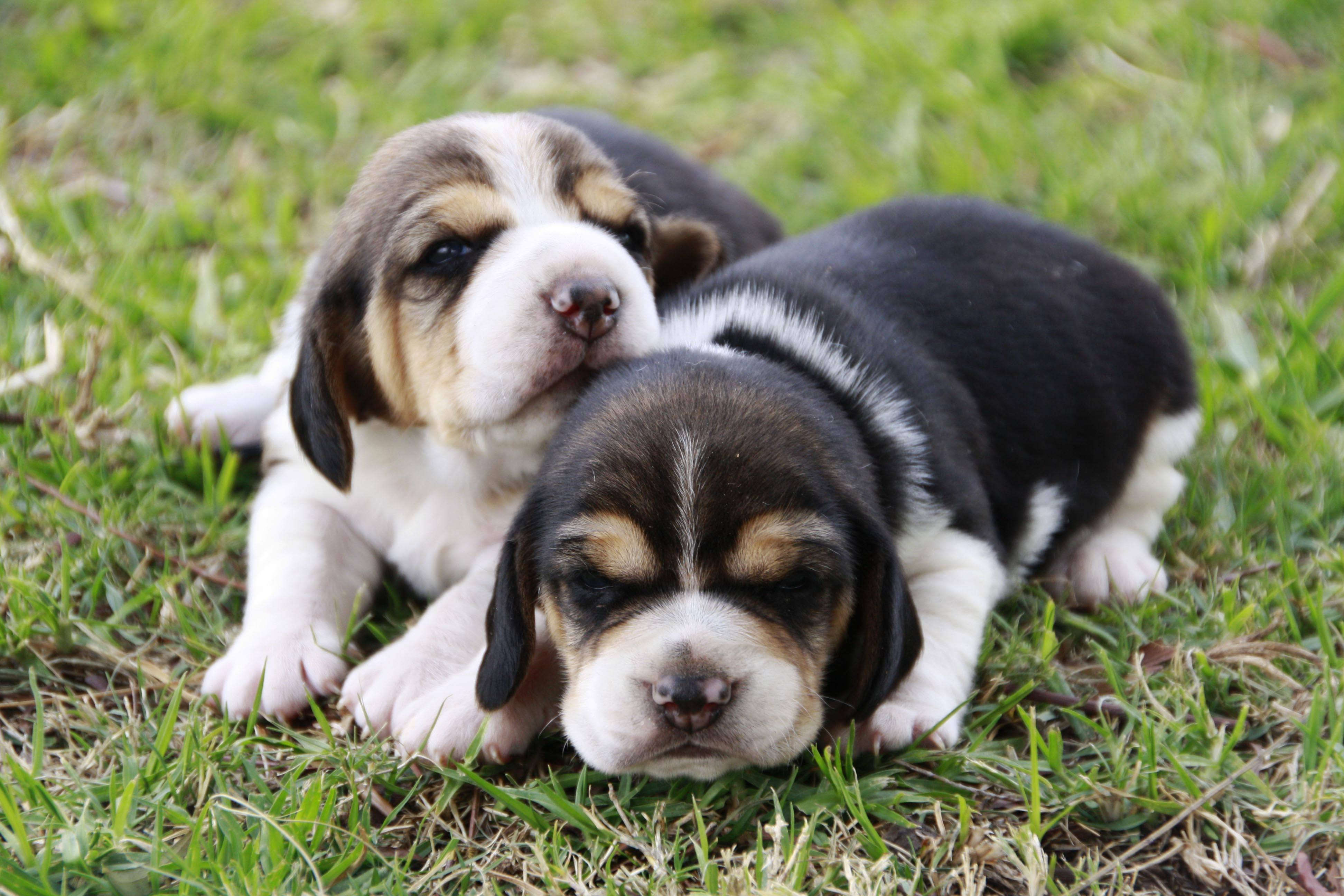 Beagle Puppies for Sale in Cape Town by Yolandi Coetzee