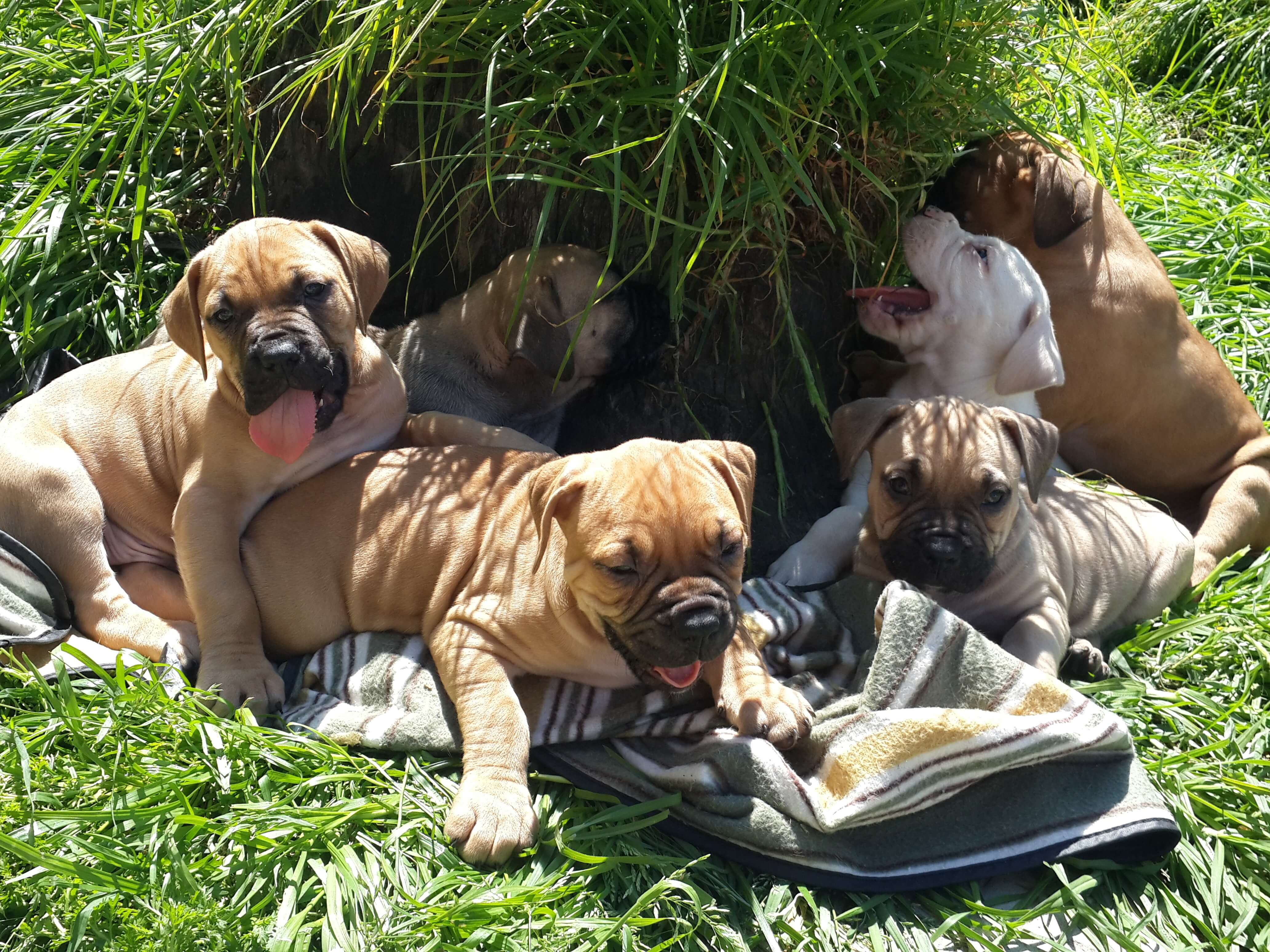 Boerboel Puppies for Sale in Cape Town by Celento Saunders