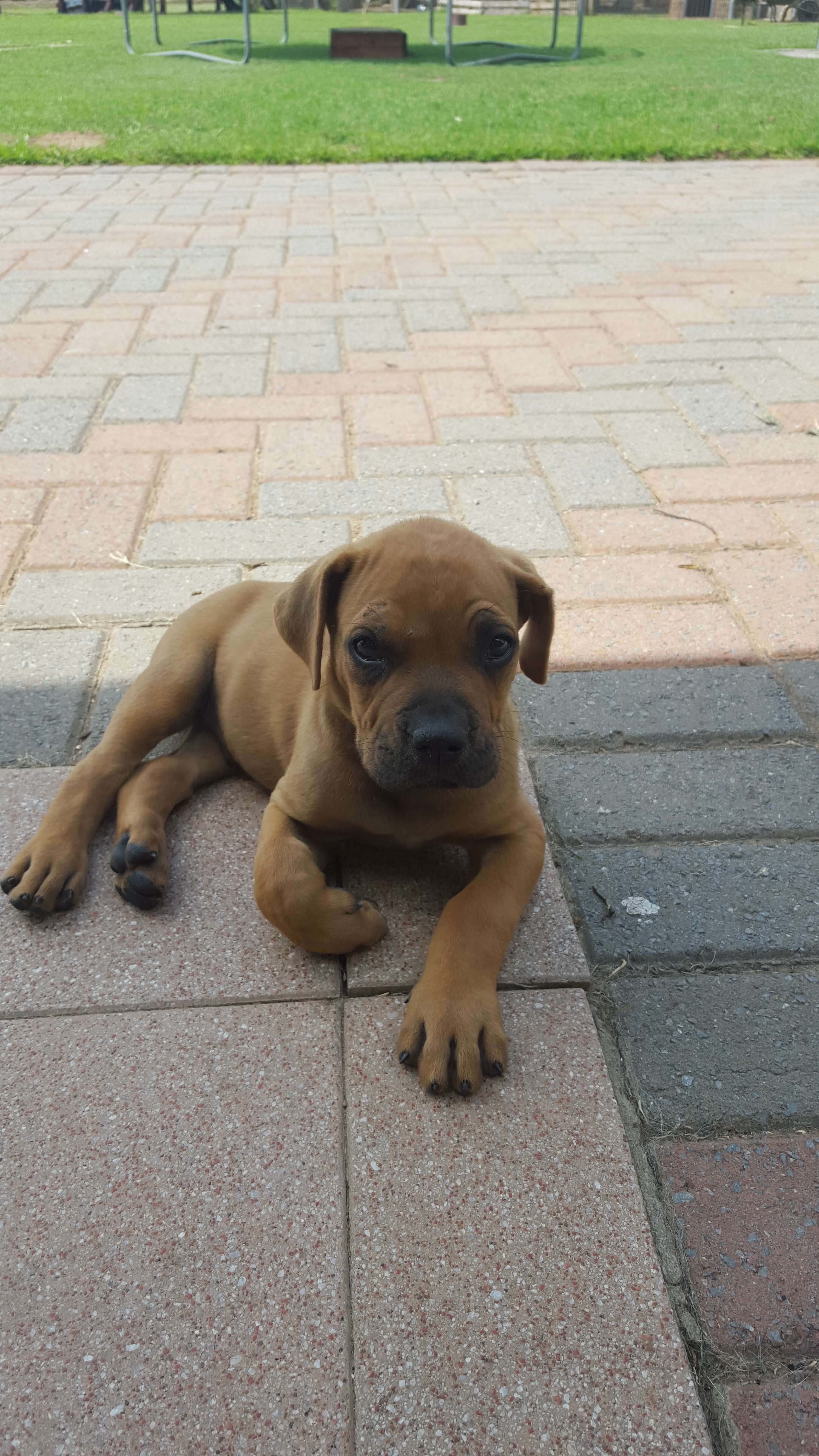 Boerboel Puppies for Sale in Other by Aqua Pool Heater Heater