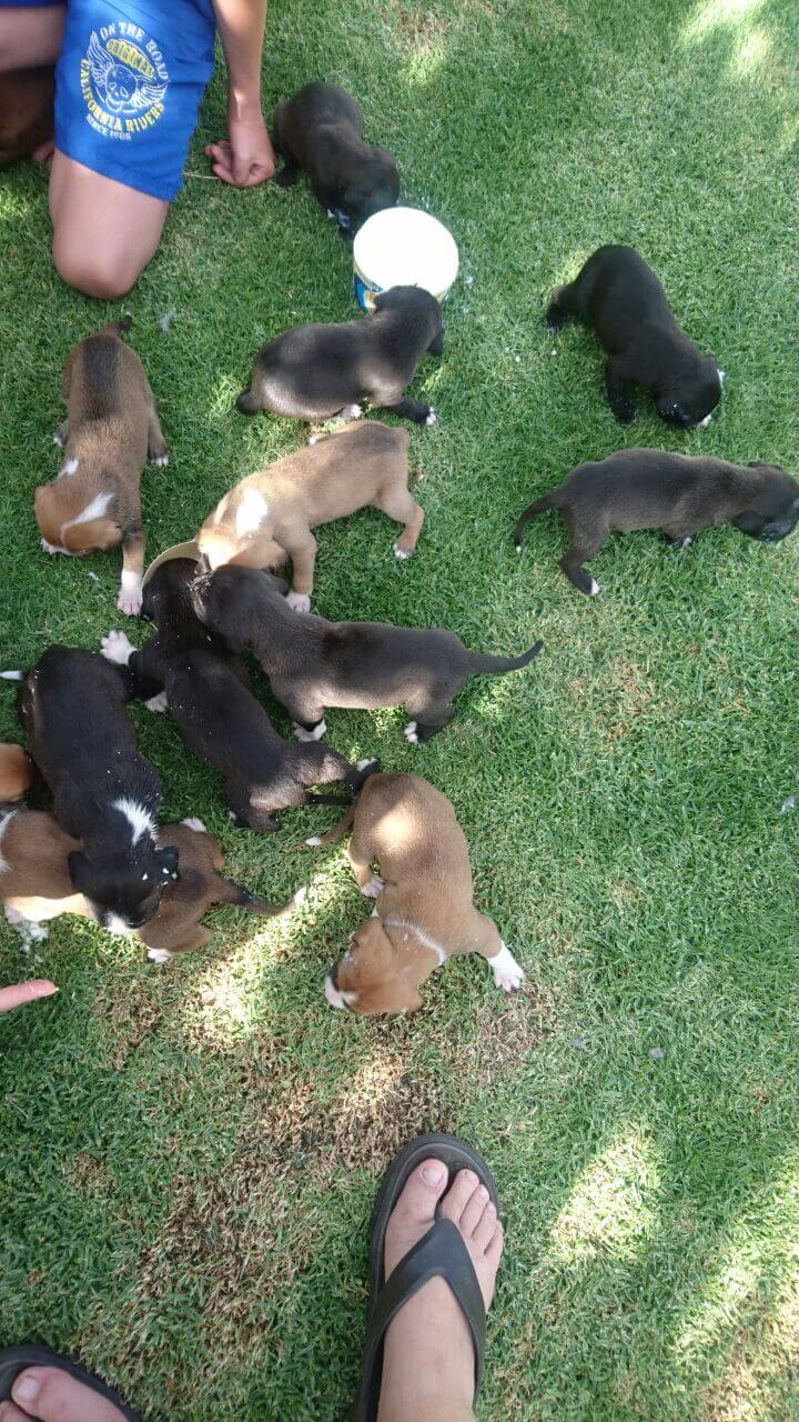 Boerboel Puppies for Sale in Other by Nicoline Kruger