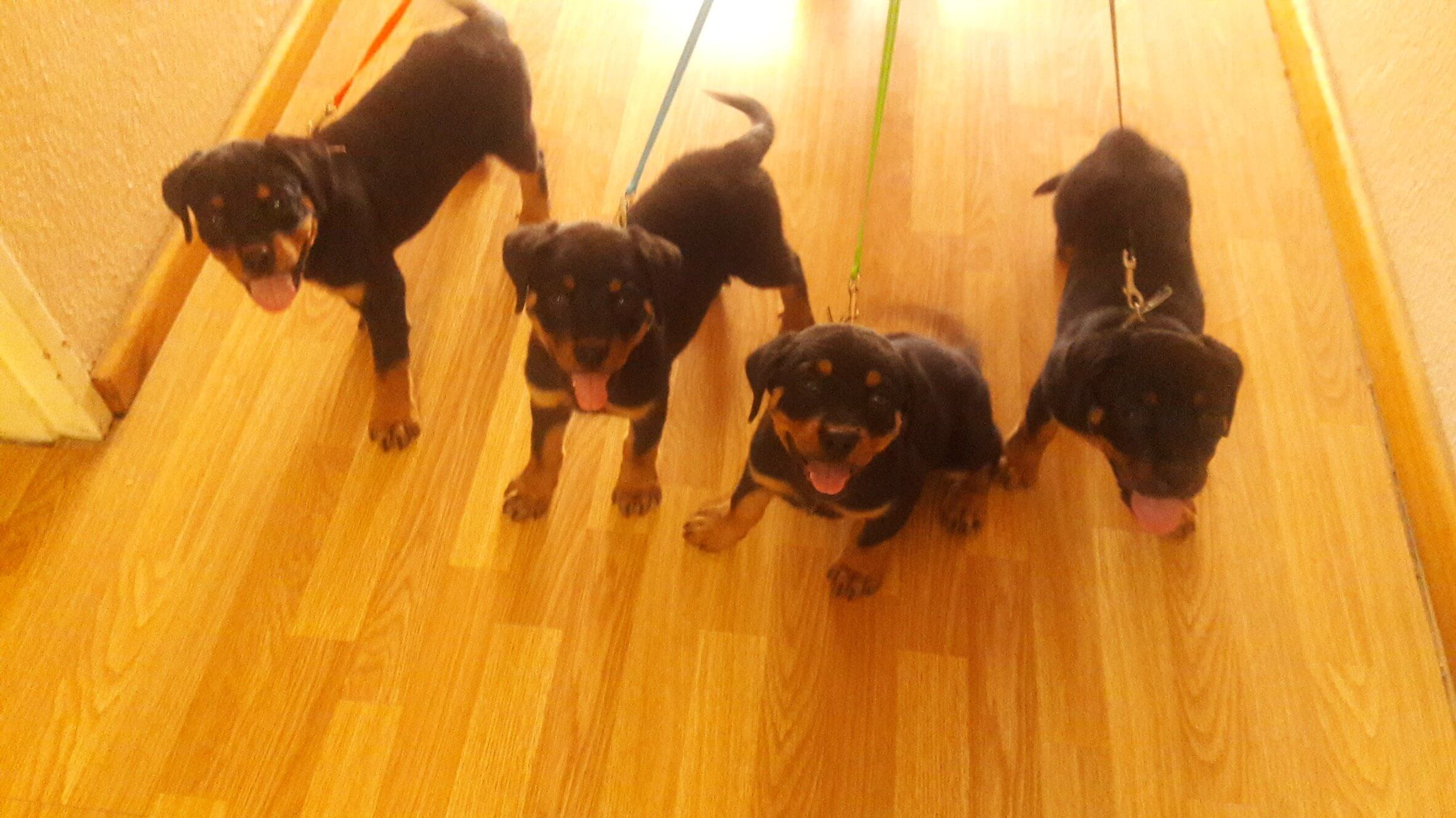 Rottweiler Puppies for Sale in Cape Town by Kobus Visagie