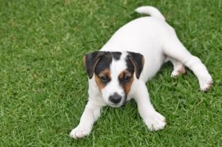 Jack Russel Puppies for Sale in Other by Christoff Smith