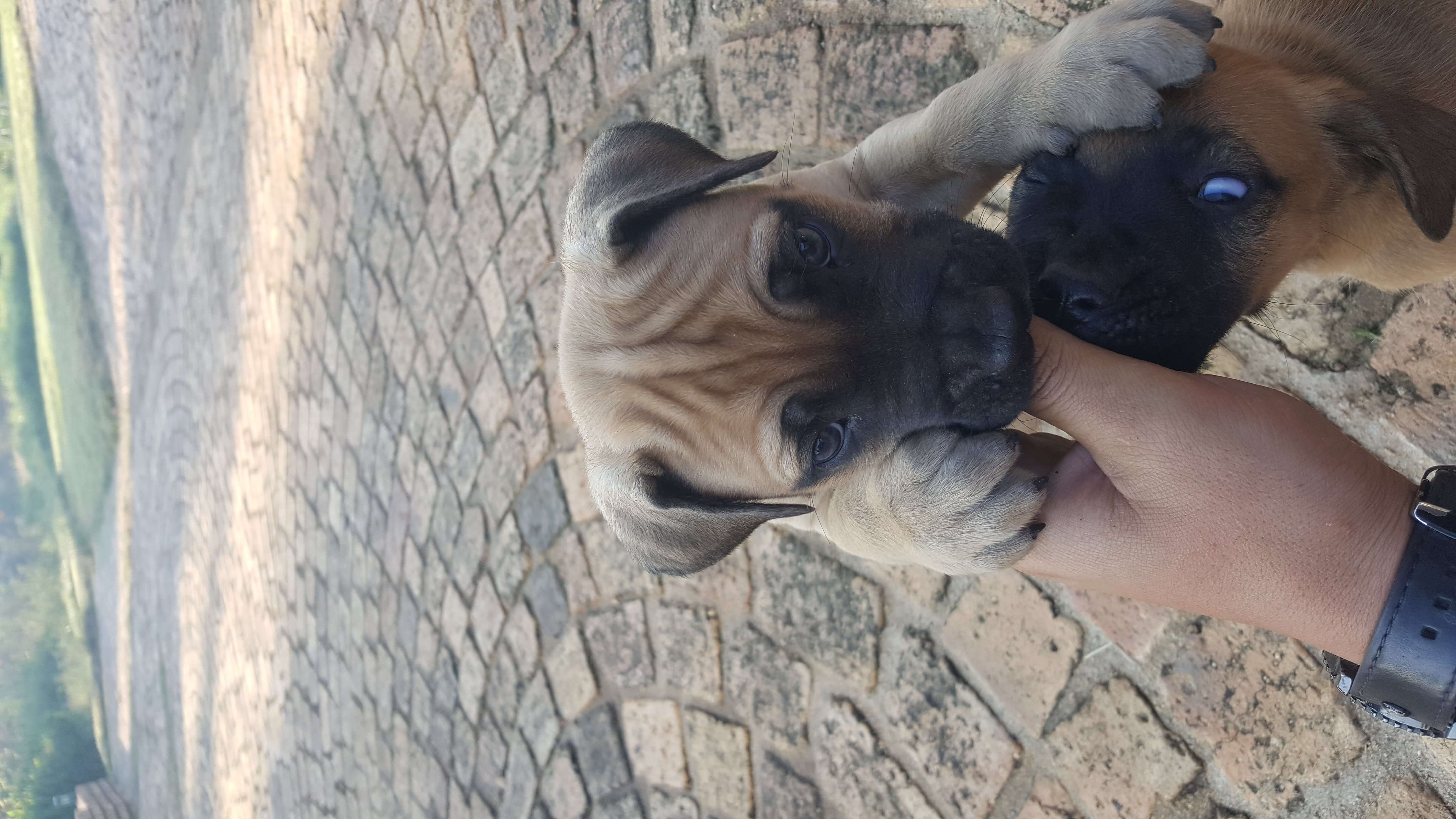 Boerboel Puppies for Sale in Johannesburg by Hendri Loots