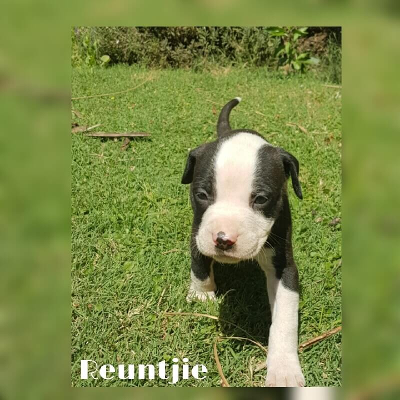 Pitbull Puppies for Sale in Pretoria by Leanne Jansen
