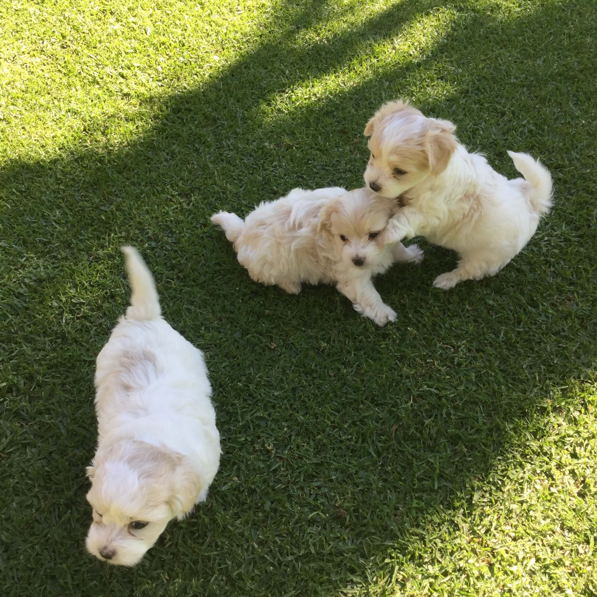 Poodle Puppies for Sale in Johannesburg by Bianca Joubert
