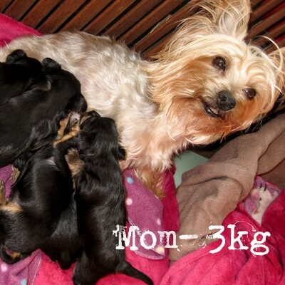 Yorkshire Puppies for Sale in Other by Hessie Brookes
