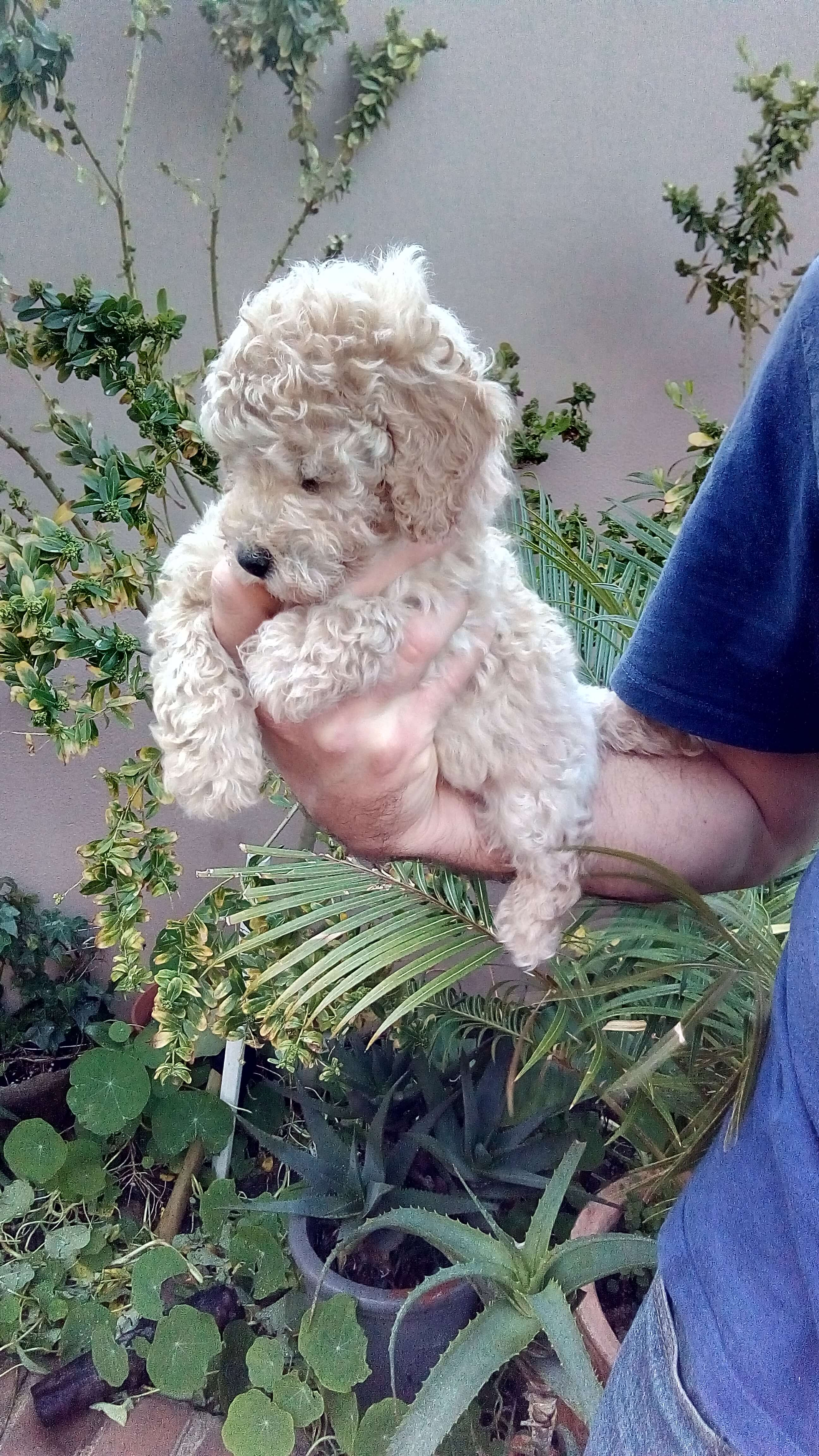 Poodle Puppies for Sale in Cape Town by Jannie Van Wyk