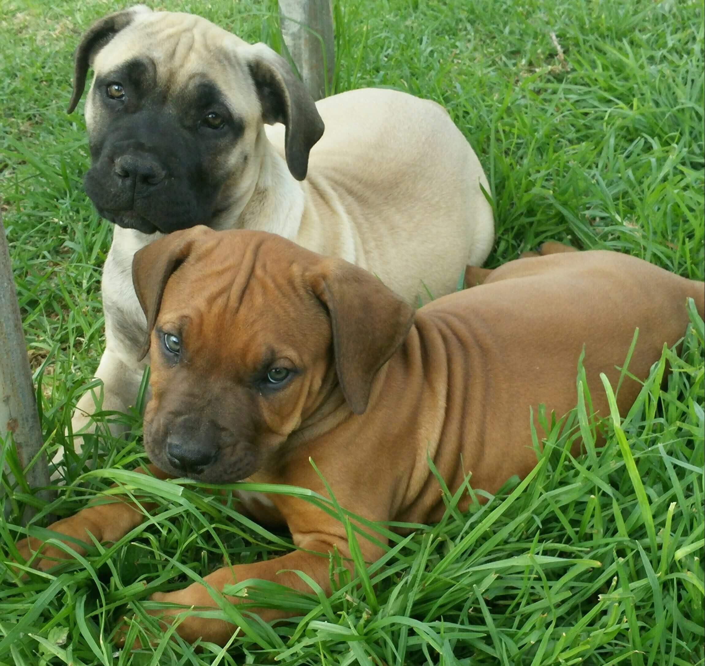 Boerboel Puppies for Sale in Other by Tania Du Plessis