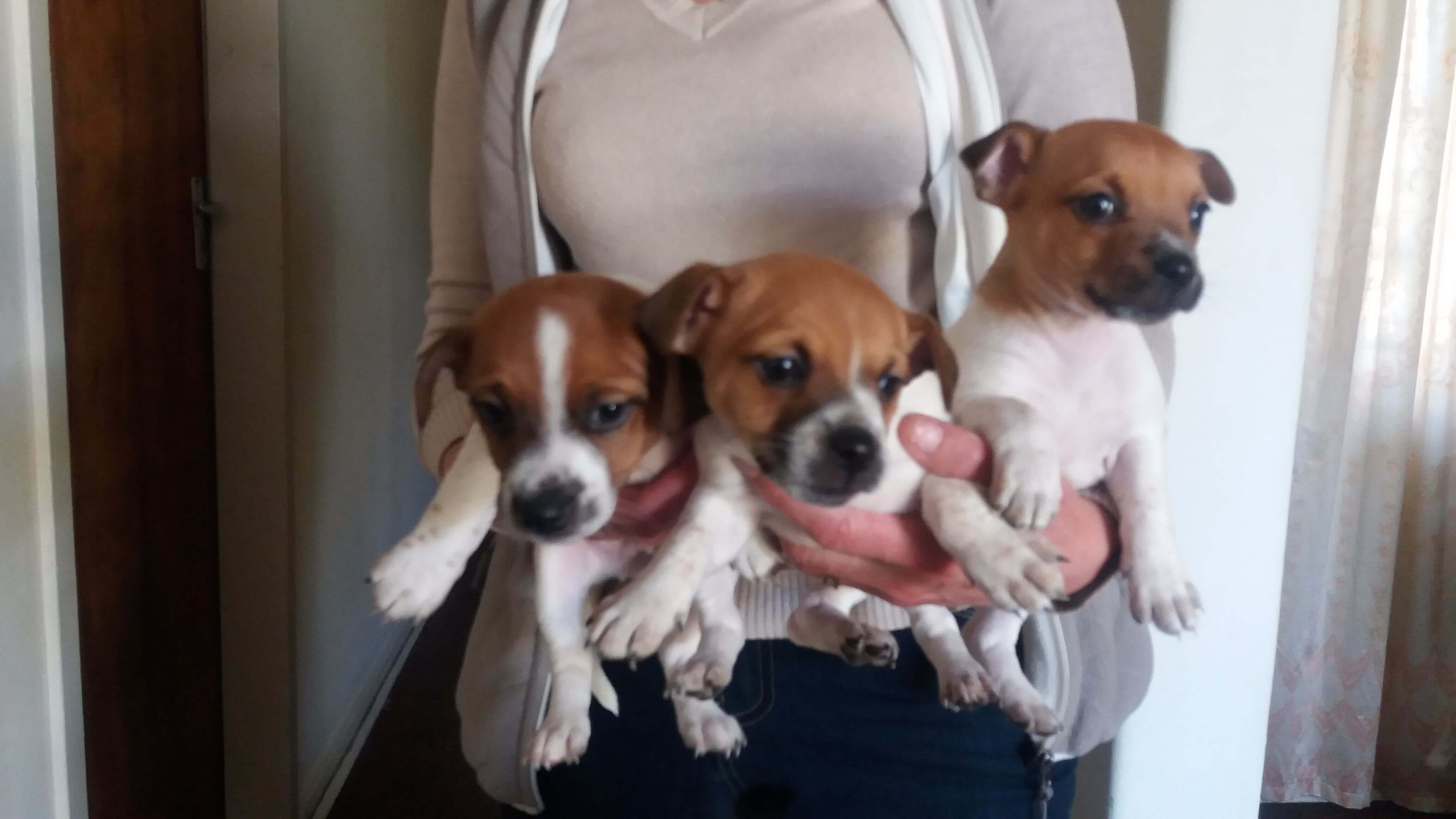 Jack Russel Puppies for Sale in Johannesburg by Barbara Stander