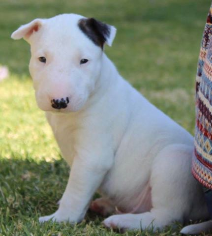 Bull Terrier Puppies for Sale in Johannesburg by Charmaine Rider