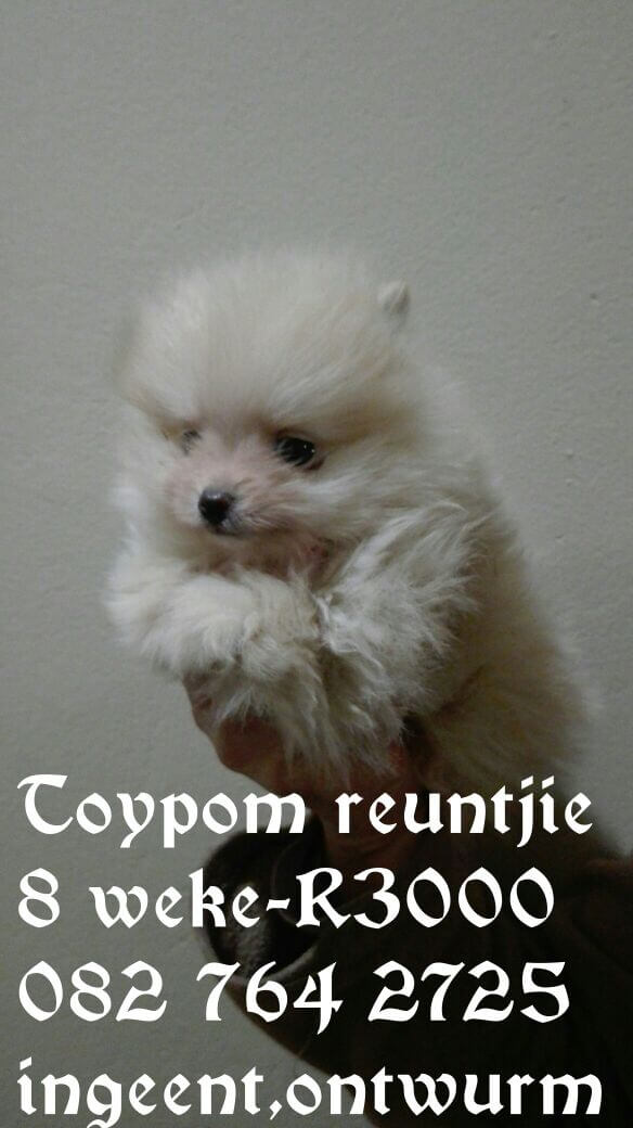 Toy Pom Puppies for Sale in Bloemfontein by Chanel Naude